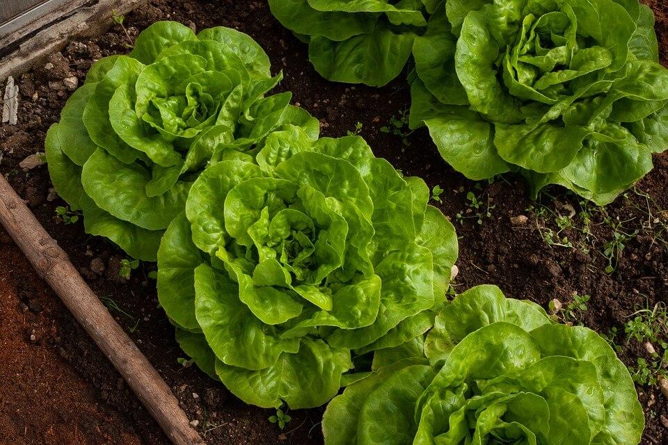 Lettuce in soil